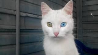 Разноглазые животные! Кот с разноцветными глазами!