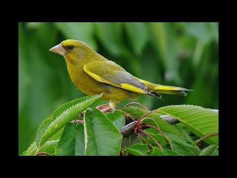 Uccelli -Verdone - Canto degli Uccelli