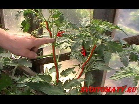 Лучшие (томаты) помидоры - Формирование кустов