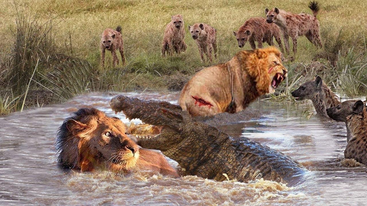 LION VS CROCODILE Great Battle. Most Amazing Moments Wild Animal Fight . Leon vs Cocodrilos