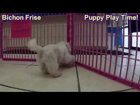 Bichon Frise, Puppies, Dogs, For Sale, In Saint Louis, County, Missouri, MO, 19Breeders, Columbia