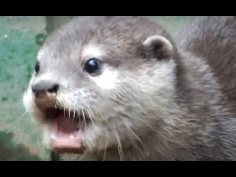Asian short-clawed otter baby to eat in big mouthfuls.ぱくぱく食べるコツメカワウソの赤ちゃん。