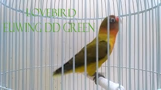 Video Spesies Lovebird Euwing DD Green download MP3, 3GP, MP4, WEBM, AVI, FLV Agustus 2018