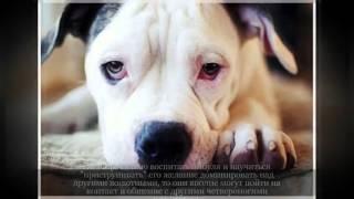 Американский бульдог Крупные породы собак