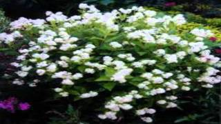 New jersey Tea Tree For Sale