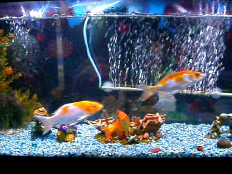 55 gallon koi tank youtube for Pet koi fish tank