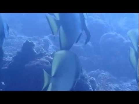 ツバメウオの群れ セブのダイビング