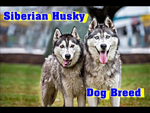 Siberian Husky Dog Breed Information | Teaser