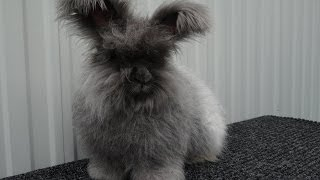 Ангорский кролик голубого окраса - Angora blau