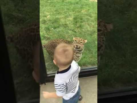 Brave toddler stands up to Leopard at zoo   Animals  Newsflare
