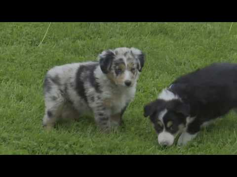 Melvin Mast's Australian Shepherd Mix Puppies