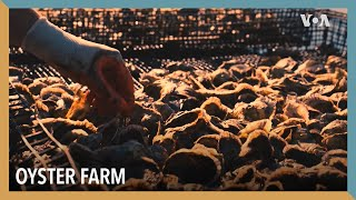 Oyster Farm | VOA Connect