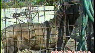 Peppiniello (Dello Stradone Vesuviano) Mastino Napoletano   Neapolitan Mastiff