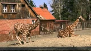 Zoo Wroclaw Żyrafy