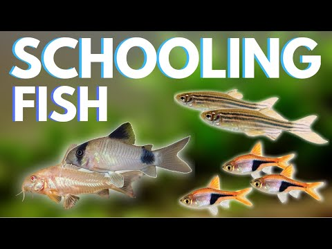 Top 7 Schooling Fish For Your Aquarium