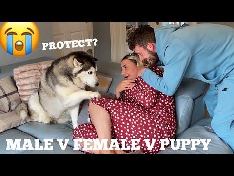 Will My Huskies Protect My Partner Prank!? [BEST REACTION EVERR!!]