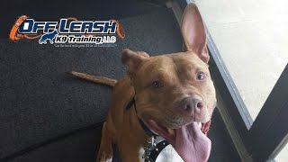 Fear Aggression | 3 Year Old Pit Bull Before/after Video | Pittsburgh Dog Training