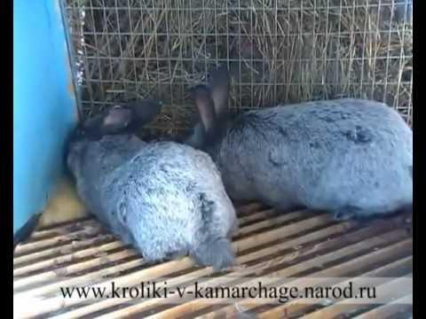 Спаривание кроликов (Mating rabbits)