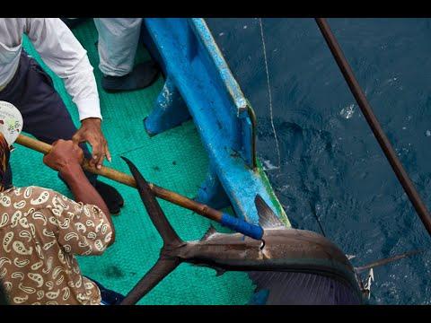 台灣東部戰浪漁人_陳永福船長_捕捉雨傘旗魚_traditional harpoon to catch the sailfish in East coast Taiwan