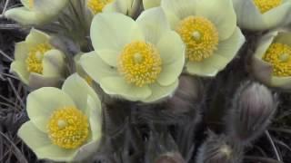 Подснежник Цветы сибири Таежные Цветы Прострел Желтеющий Сибирский подснежник Лесные цветы Цветок
