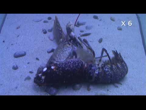 Mue de homard / Lobster molting - YouTube