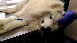 Как интубируют собаку перед МРТ обследованием