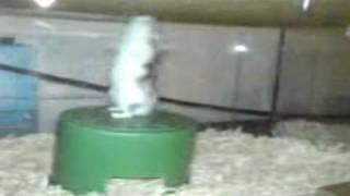 Hamster Backflip