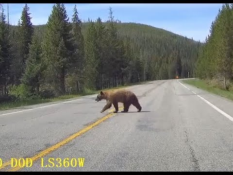Bear, deer and moose on the road around Yellowstone National Park