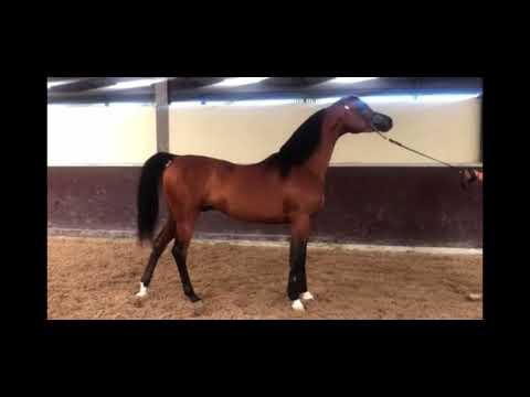 Aria Atilla Arabian Stallion Arabika Poland