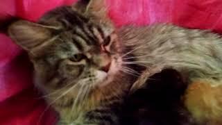 Кормление котят породы Мейн-кун. Feeding kittens of Maine Coon breed