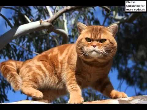 American Shorthair Orange | Set Of Cat Picture Collection