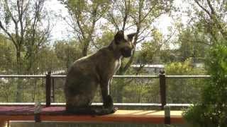 Devon Rex cats  Oshi&Raul playing