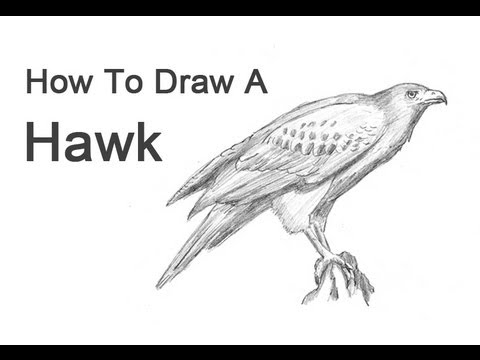 how to draw a hawk harris hawk youtube