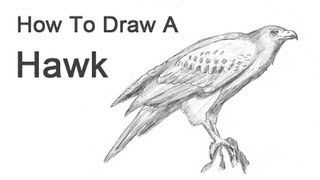 How to Draw a Hawk (Harris Hawk)