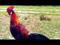 Aksi Pikat Ayam Hutan Si Kecil Borneo Sumatera  Mp3 - Mp4 Download