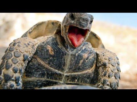 Elongated Tortoises Actual Mating