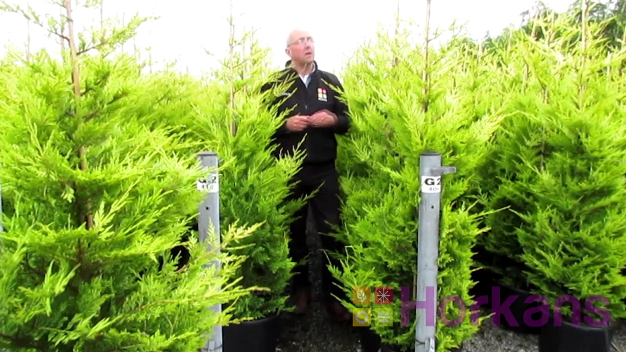 Golden Conifers Fast Growing