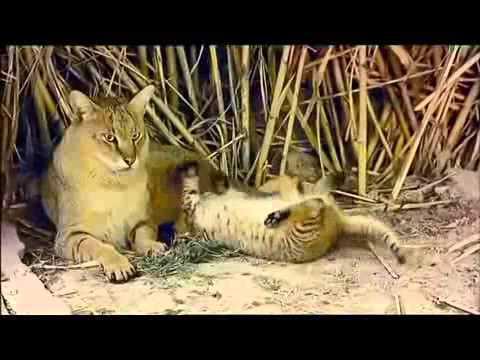 Карточка «котята чаузи: фото, цена и как купить экзотических питомцев. Герои нашей статьи –котята чаузи, или гибриды домашней кошки и дикого.