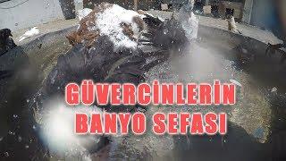 KENDİ GÜVERCİNLERİMİZ BANYO SEFASI | pigeons bath