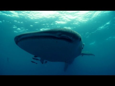 The World's Biggest Shark - Deadly 60 - Series 2 - BBC