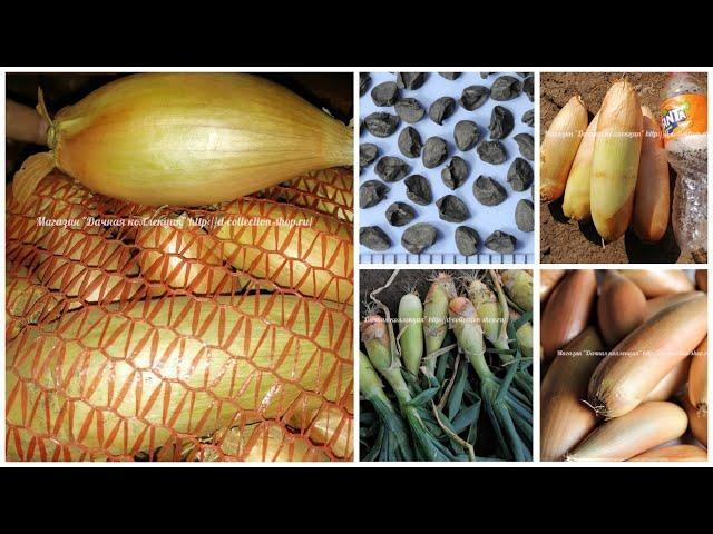 Лук-шалот из семян