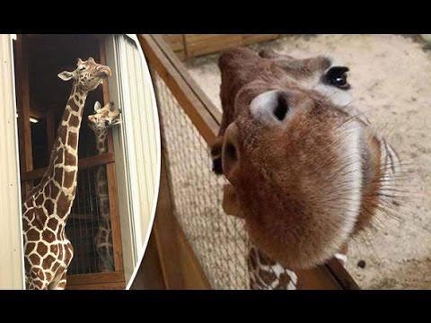 Animal Adventure Park Giraffe Cam NEWEST LIVE STREAM Started 12pm EST !!