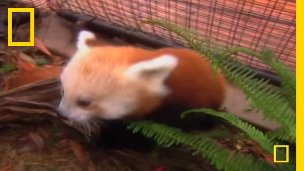 Cute Baby Panda National Geographic Youtube