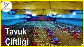 Tavuk Çiftliği | Tavuk Çiftliği Nasıl Kurulur? | Tavuk Çiftliği Kazancı | Civciv Çiftliği