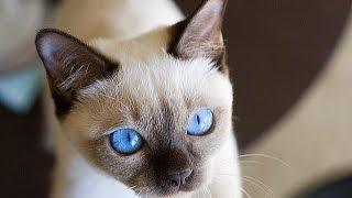 Тонкинская кошка - восточная красавица
