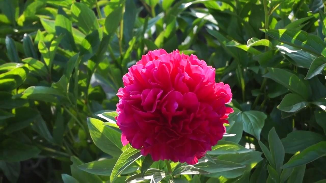 18 янв 2018. Строим дом · купить товары для дома и сада. Травянистые пионы — red grace травянистые пионы. Пион red grace пион ред грейс.