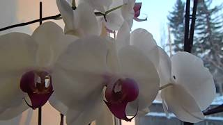 */*ОРХИДЕИ в ЗИМУ*/* утепляю подоконник */* корни и листья орхидеи защищены от холода*/*