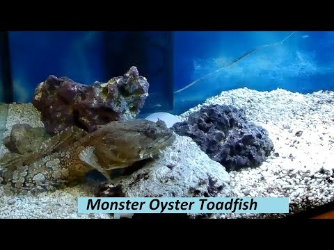 World's Largest Oyster Toadfish
