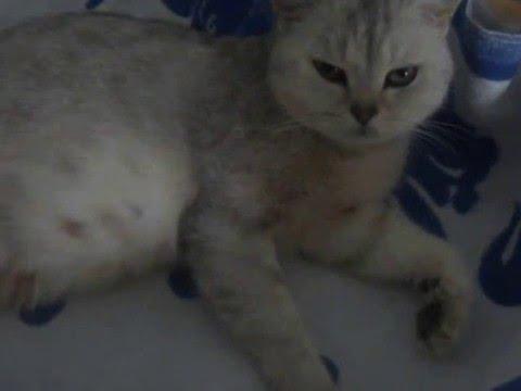 Беременные кошки фото -