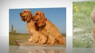 English Cocker Spaniel Temperament